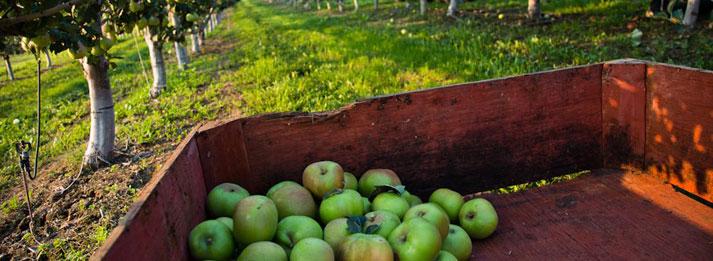 apple-in-cart