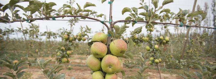 apples-on-vine