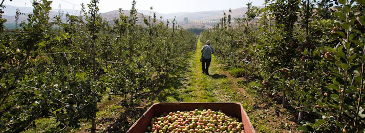 orchard-row-picking