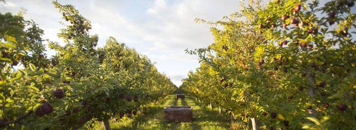orchard-row